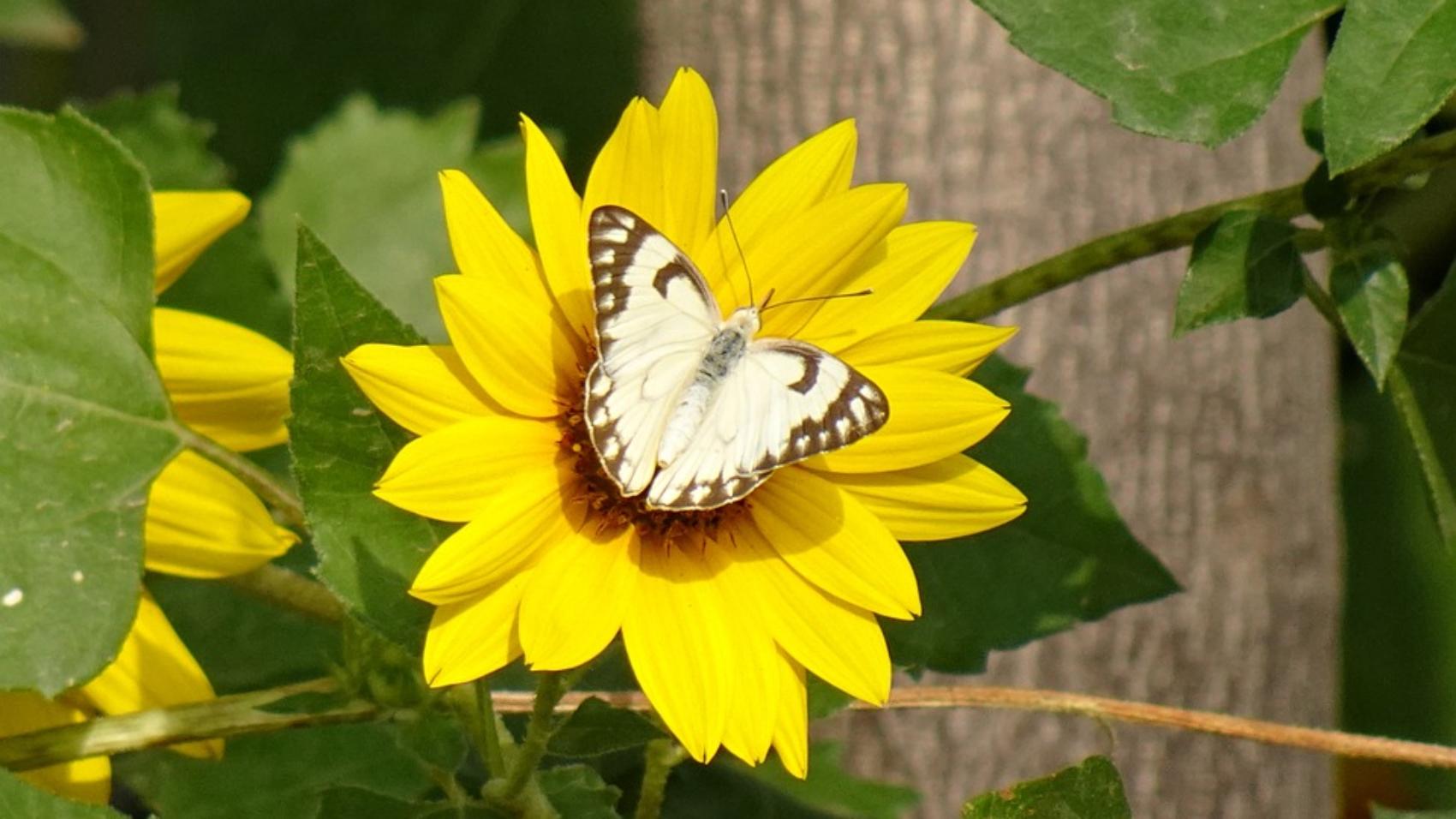 butterfly-5175777_960_720