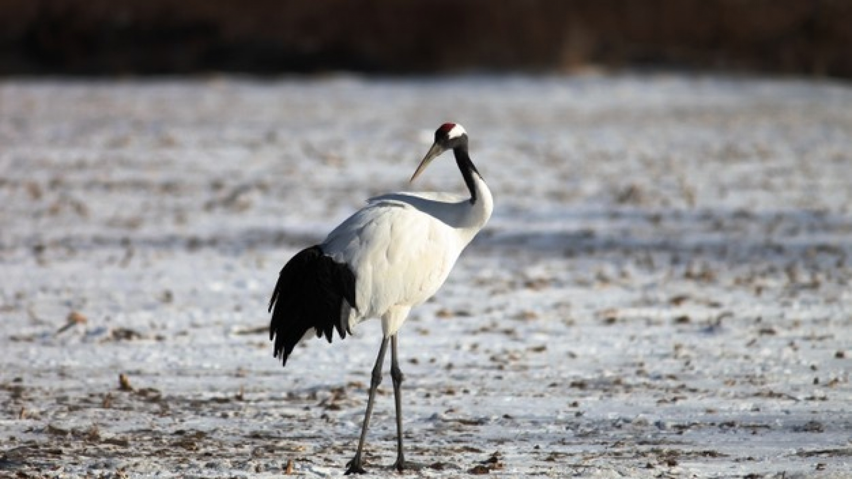 black-necked-crane-standing-on-the-ground-covered-in-the-snow-in-hokkaido-in-japan_181624-15351